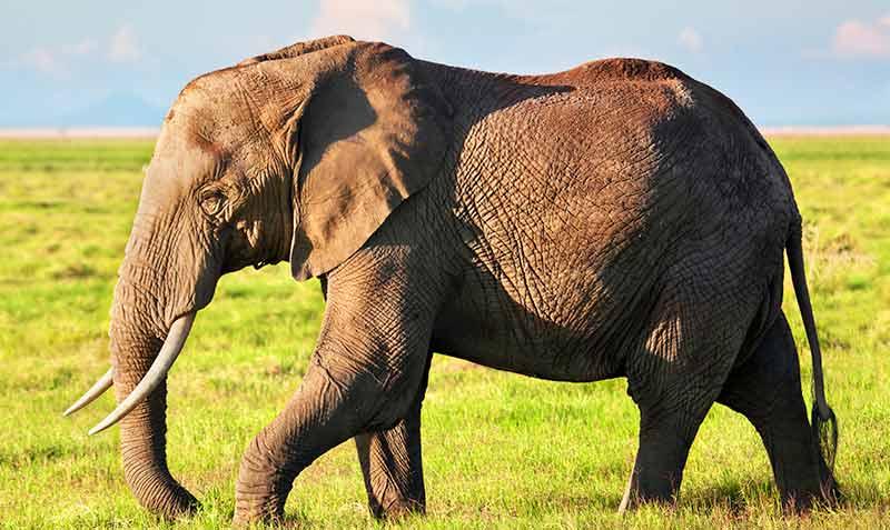 elefante-africano-safari