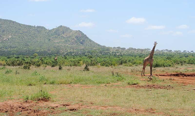 giraffa-safari