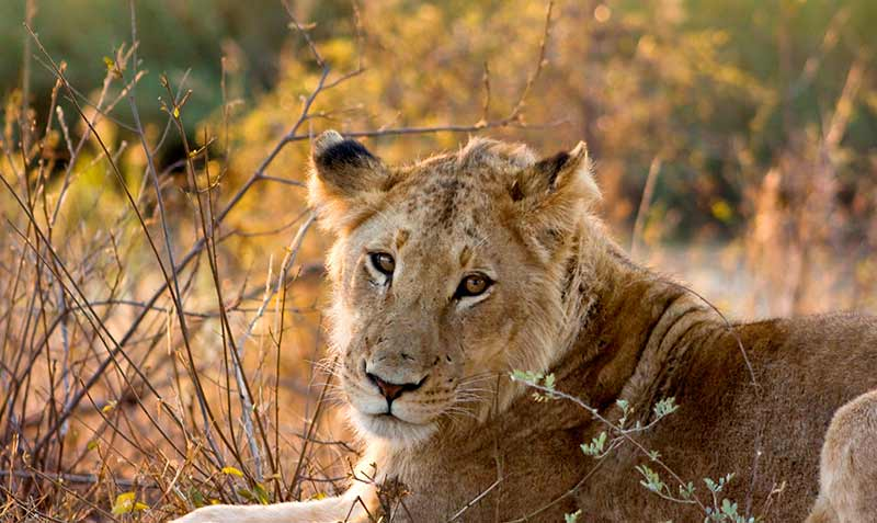leonessa-in-safari