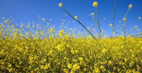 pollenm