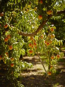 peach-022