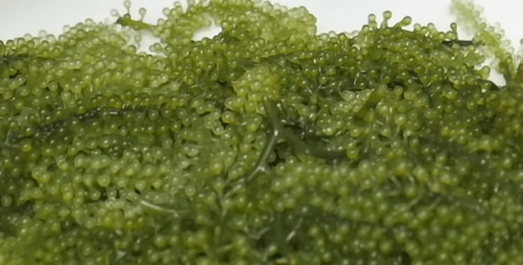 sea-grapes
