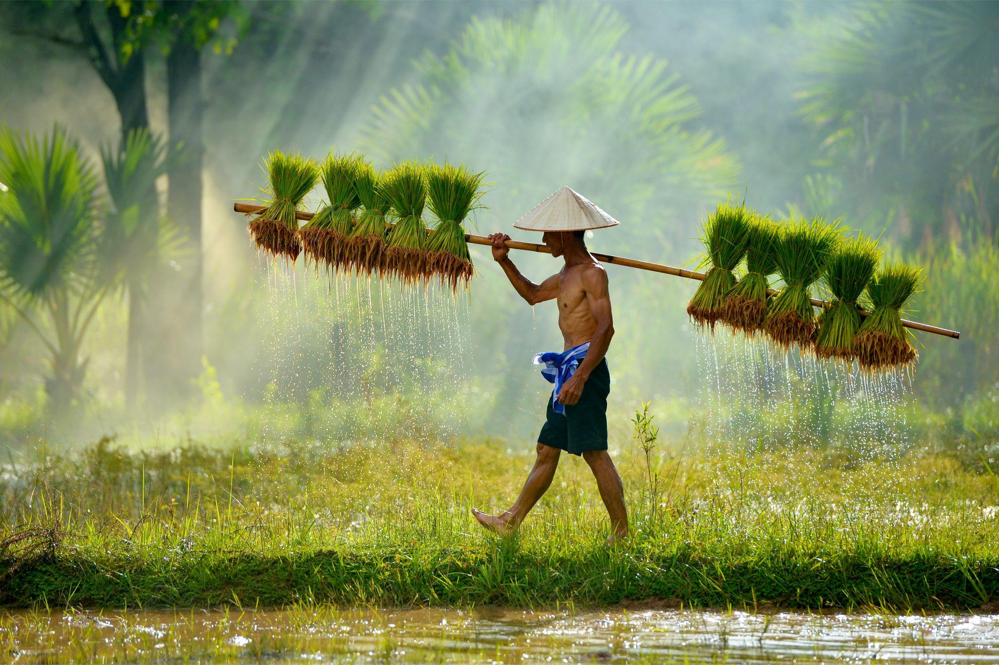 タイ米を植える準備をしているタイの農夫