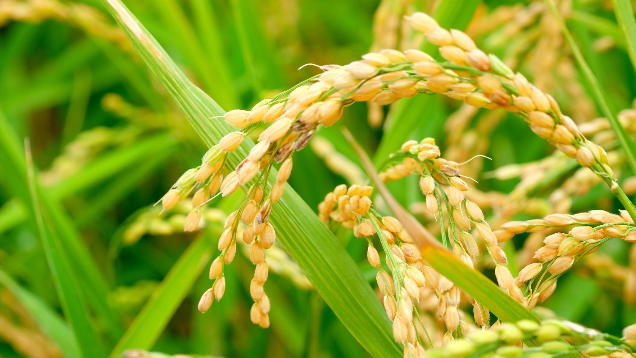 北海度の田んぼのジャポニカ米