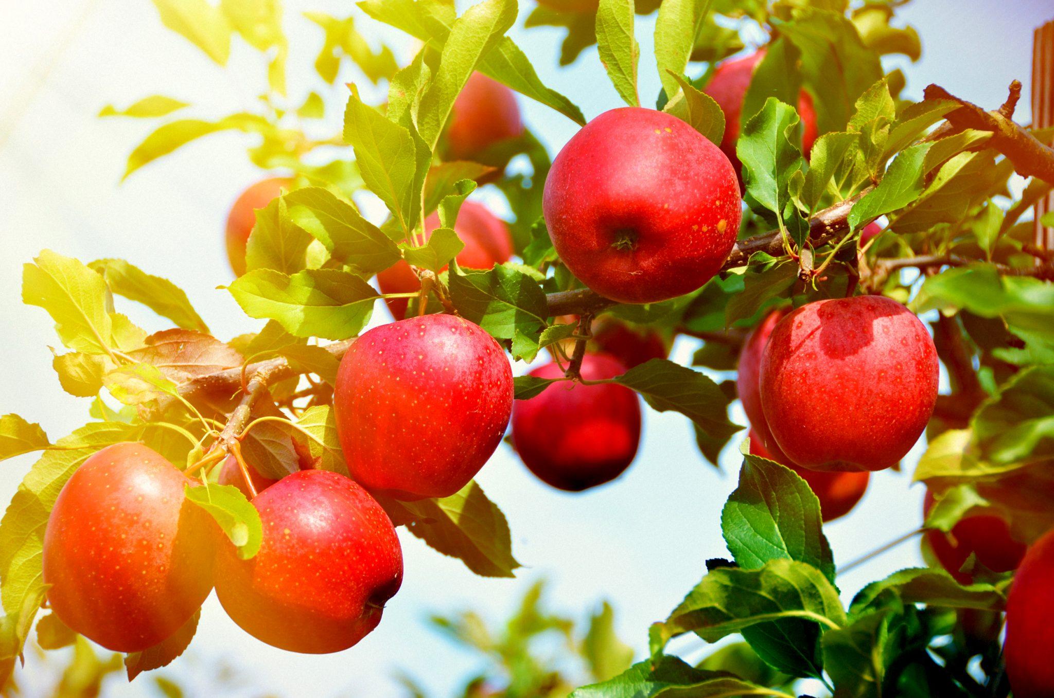 木に実っているりんご