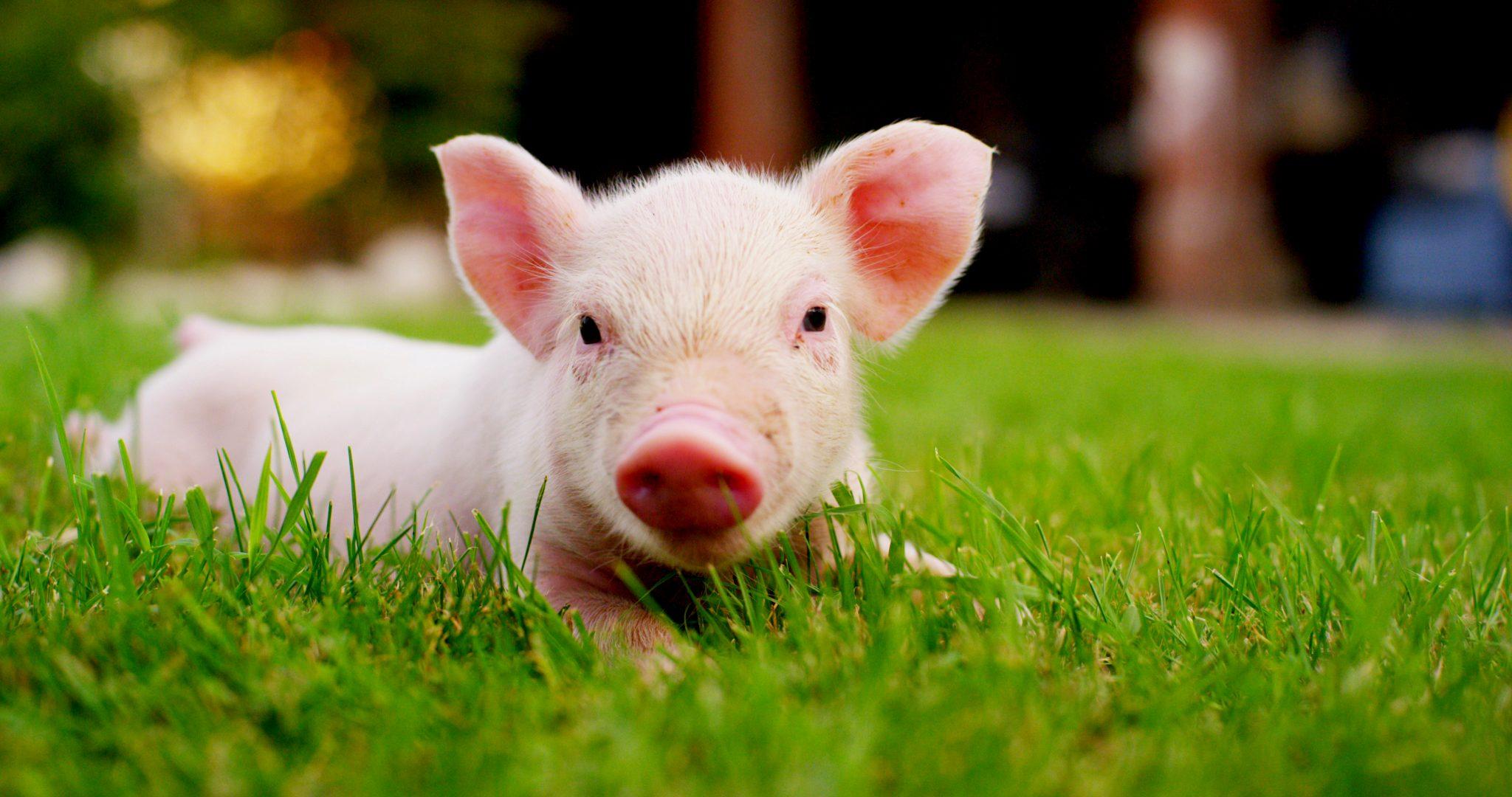 子豚が芝生でくつろいでいる