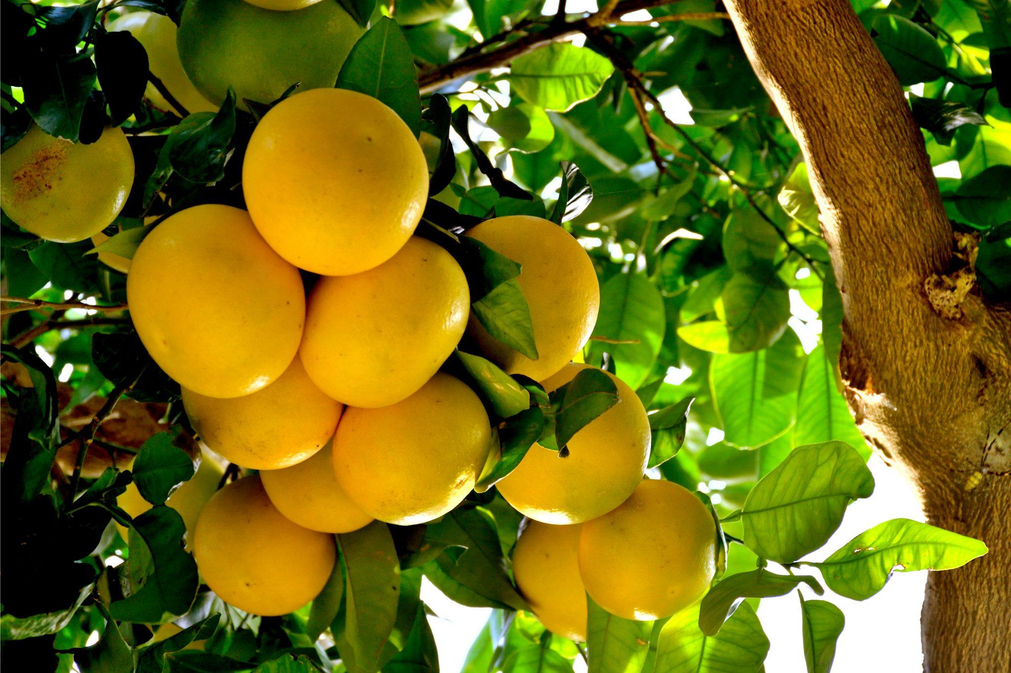 グレープフルーツの生え方