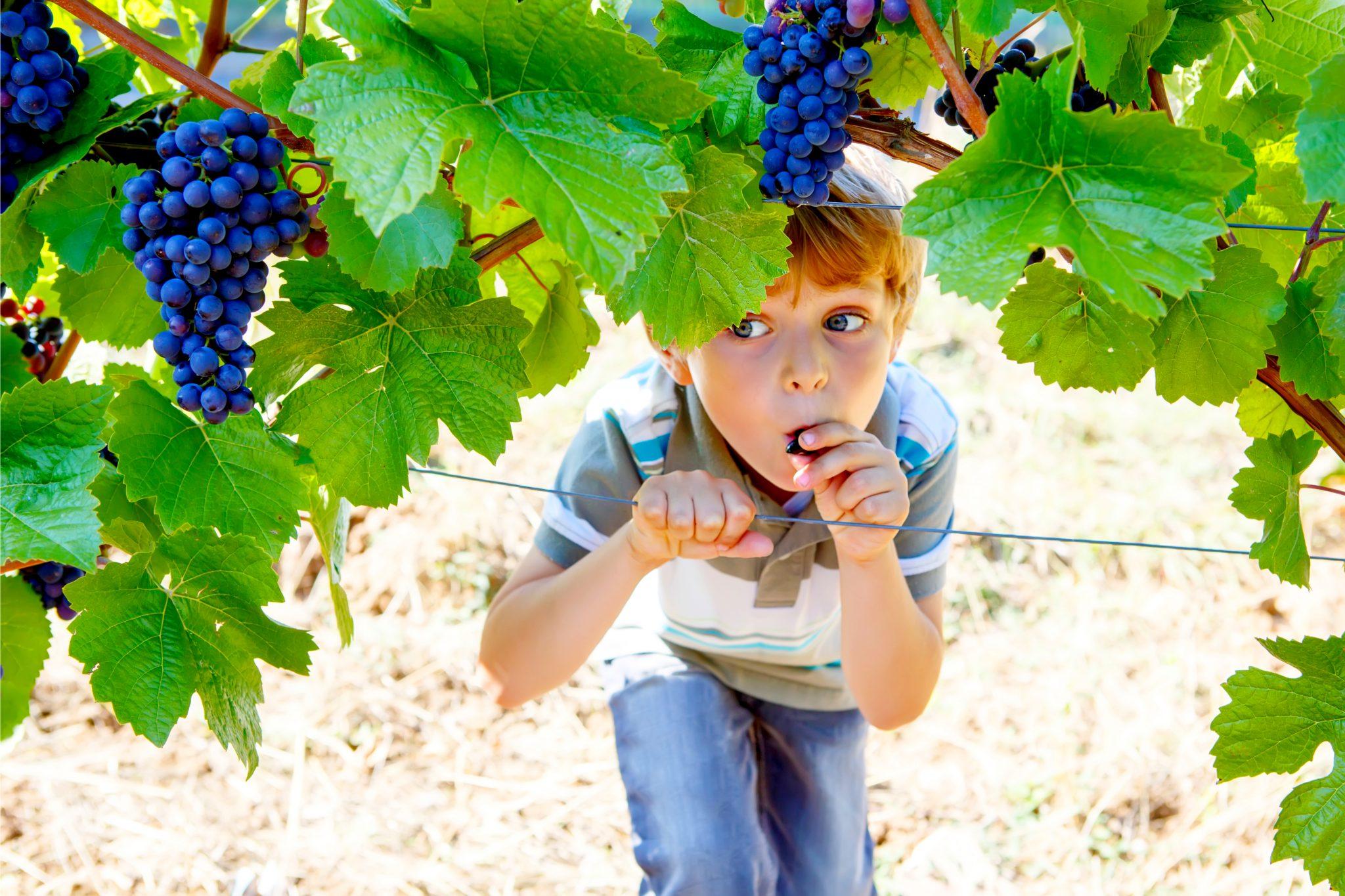 ブドウ畑にいる男の子
