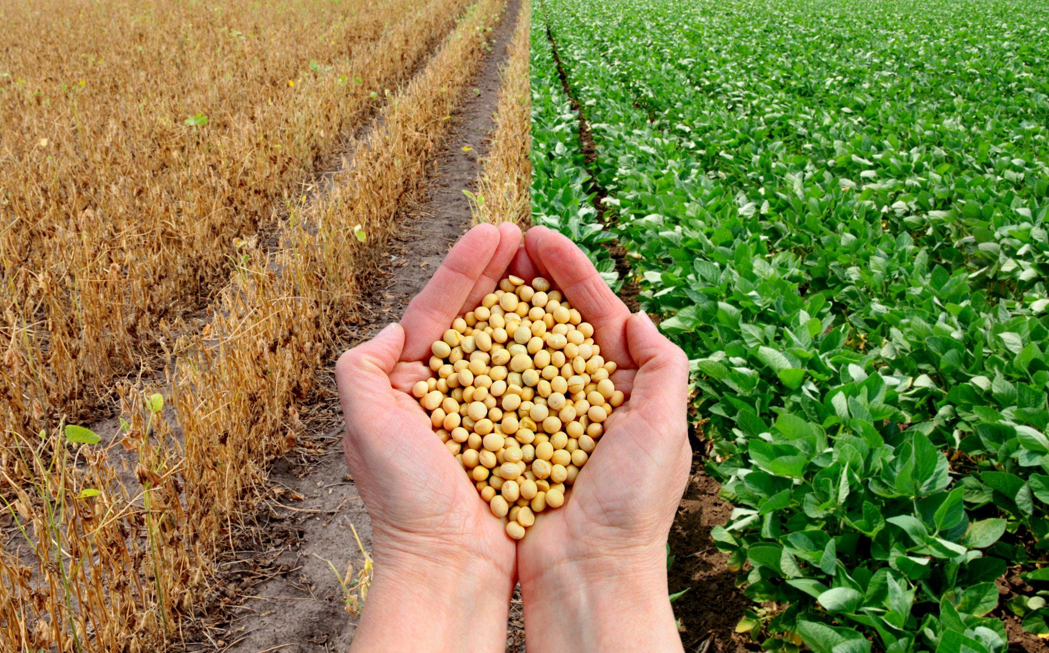 大豆農場で大豆を両手に持っている人