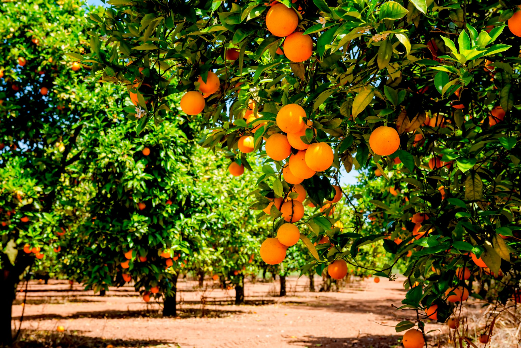 収穫前の木に実っているオレンジ