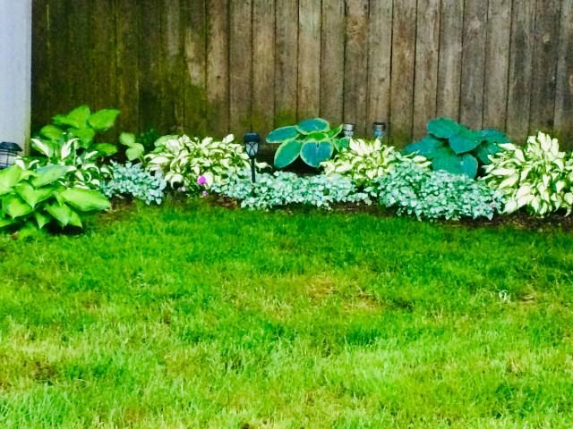 My Hosta garden
