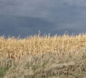 Iowa Cornfields.
