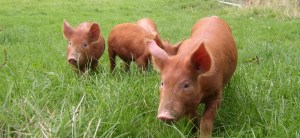 Tamworth pigs grazing, photo provided by Patrick Beck