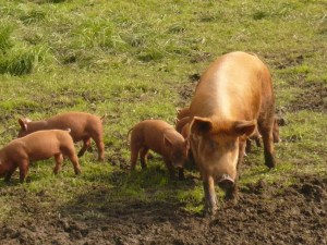 Tamworth pigs, photo provided by Patrick Beck