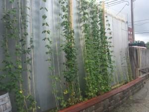 Hops grow along the wall on the patio