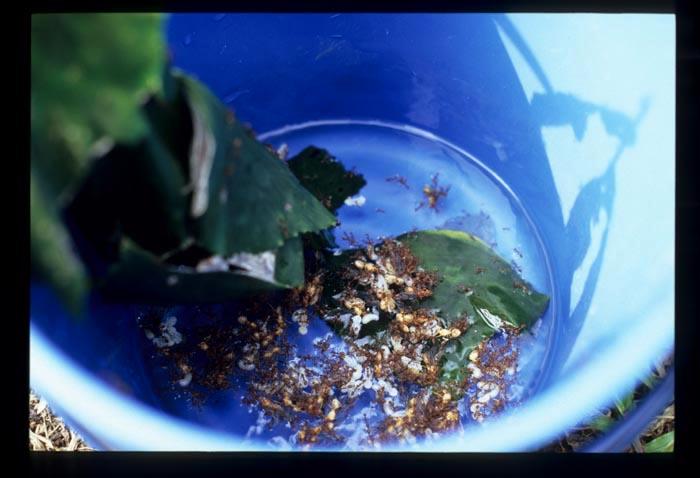 Ant_eggs_in_bucket