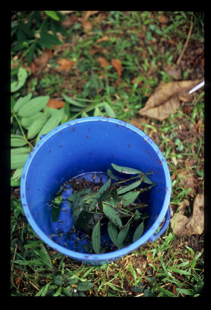 Ant_eggs_in_bucket_mostly_leaves