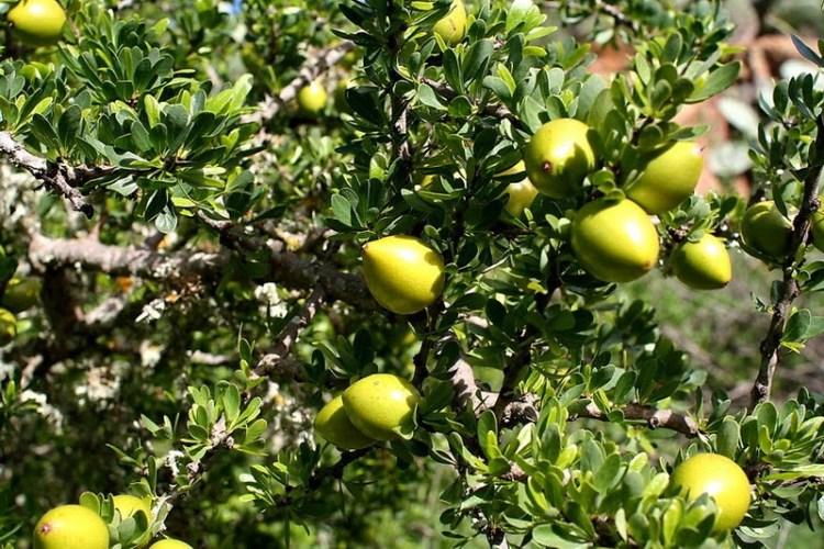 arbore-copac-de-argan