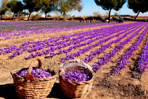 saffron-cultivation