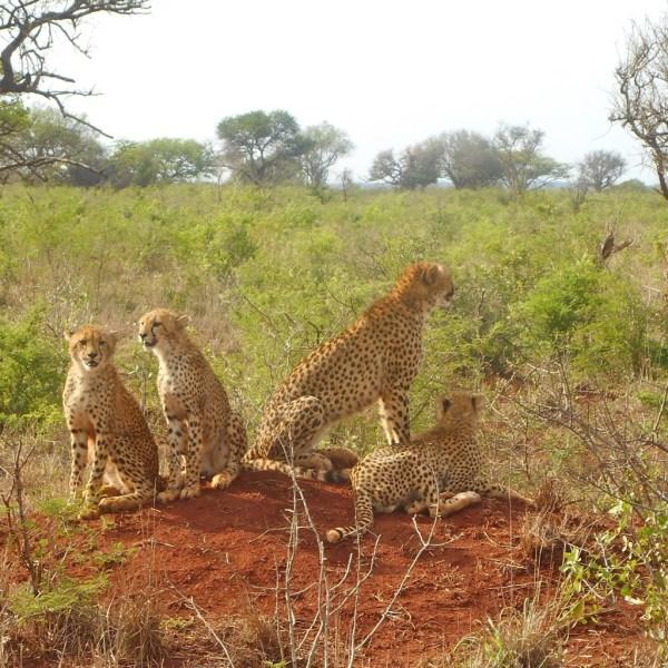 cheetahfam