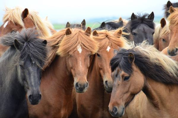 Beautiful Icelandic horses with their stylish hair-dos