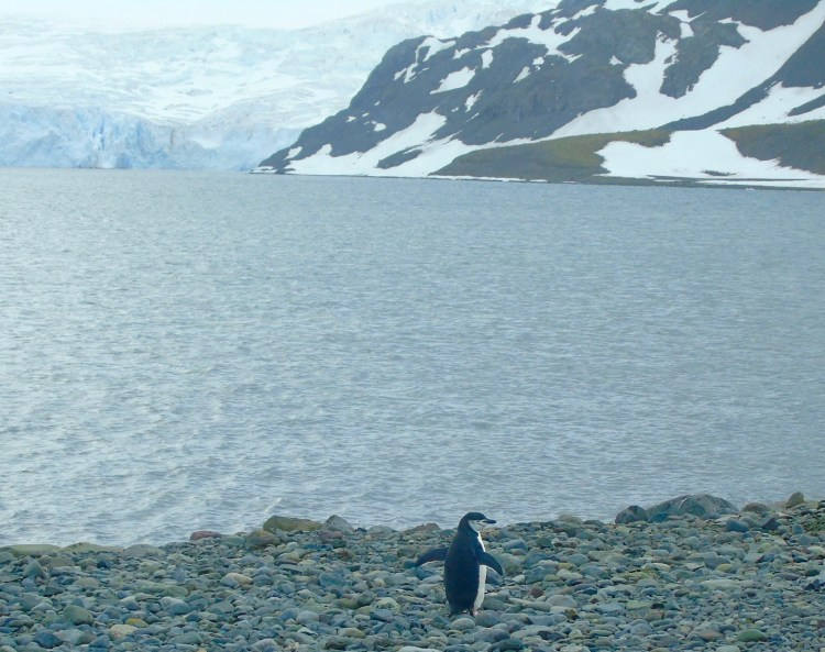 Antarctica: chinstrap penguin