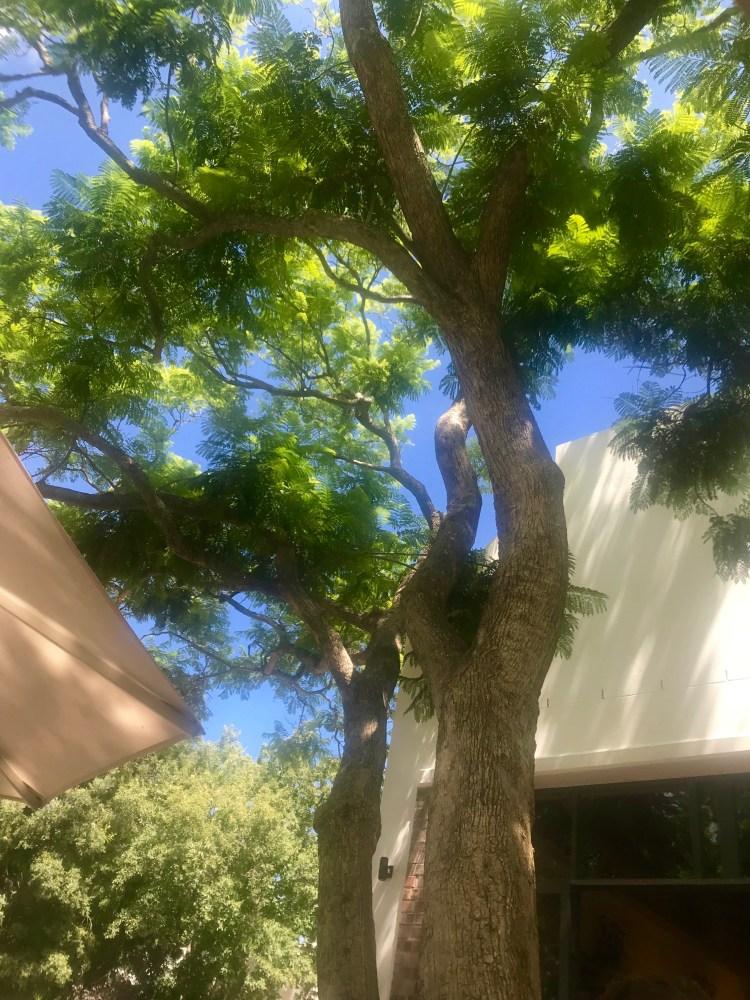 Klein Constantia: Jacaranda tree