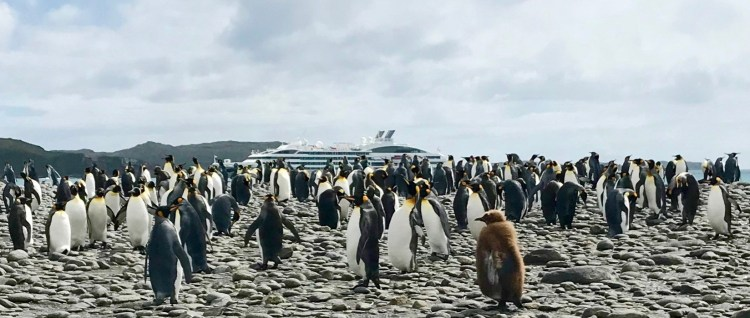 Waddle: king penguins