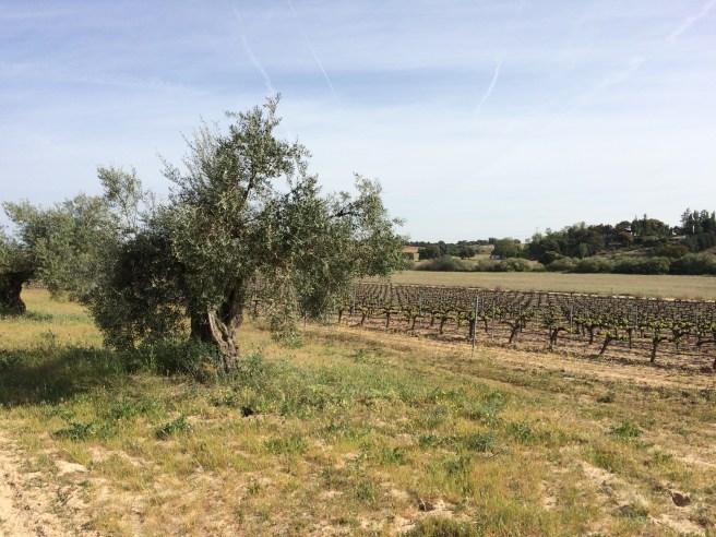 Background: a neighbor's vineyard