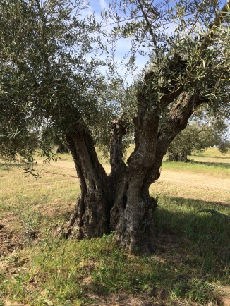 200 year old olive tree.