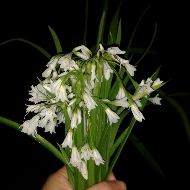 I found some three cornered leek (often mistakenly called wild garlic and just as delicious)