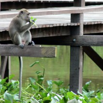 A cheeky macaque
