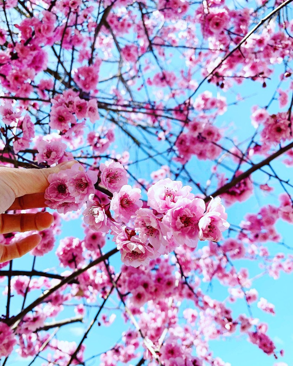Live The Best Places To See Cherry Blossoms In Australia