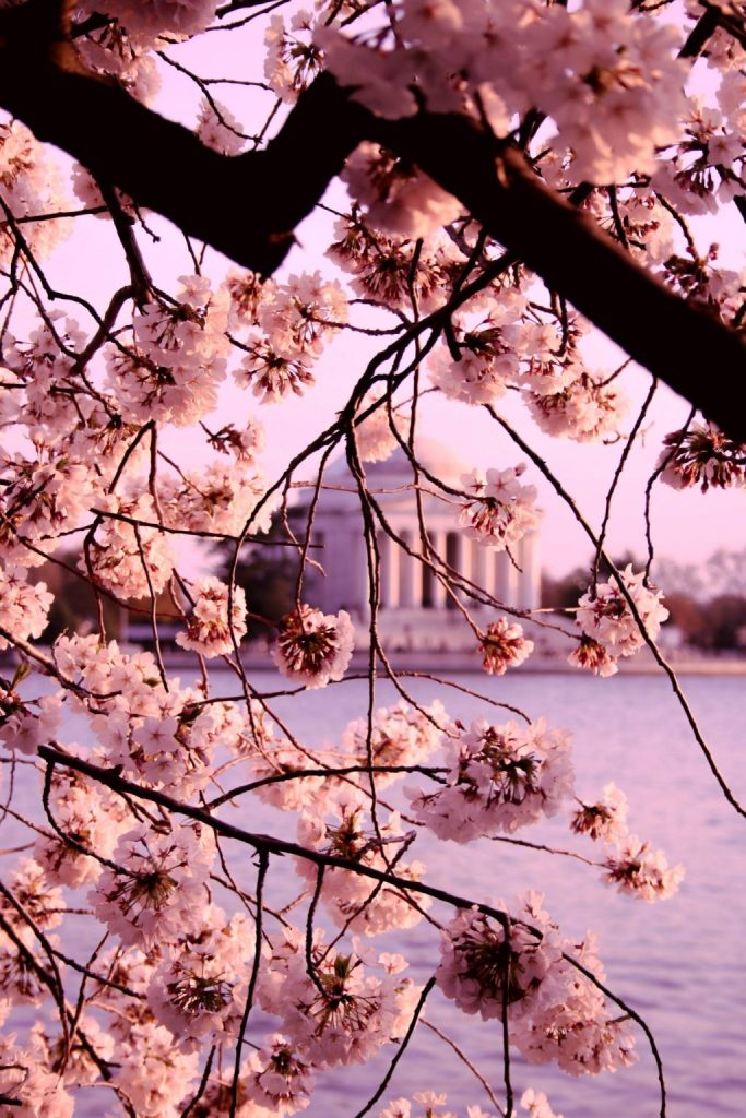 Visiting The Cherry Blossoms In Washington, D.C.