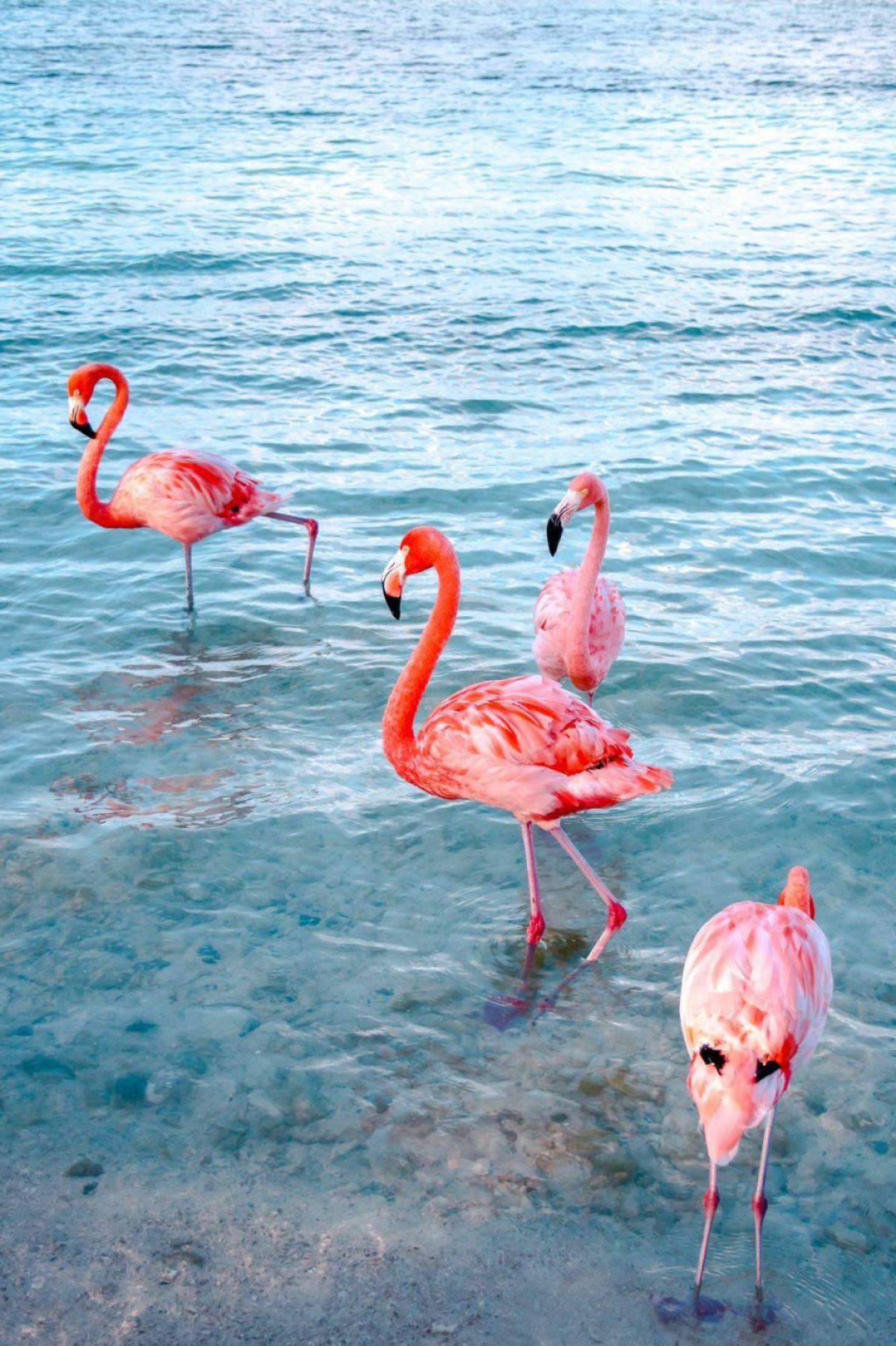 flamingos frolicking at flamingo beach