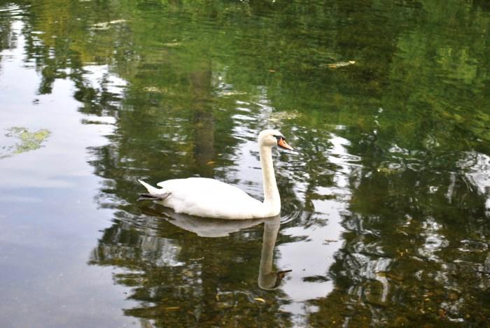 swan in kew gardens