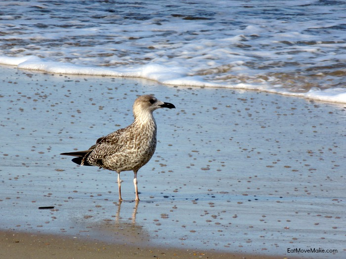 sear bird - Sanderling Resort Outer Banks