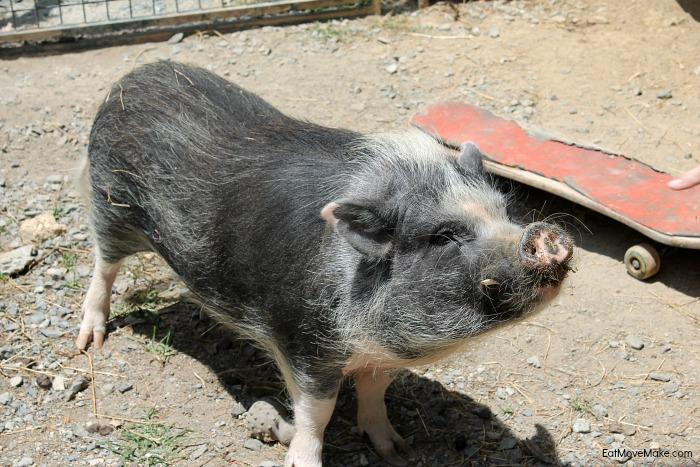 mr-pickles-the-pig-at-apple-hill-alpaca-farm-banner-elk-nc