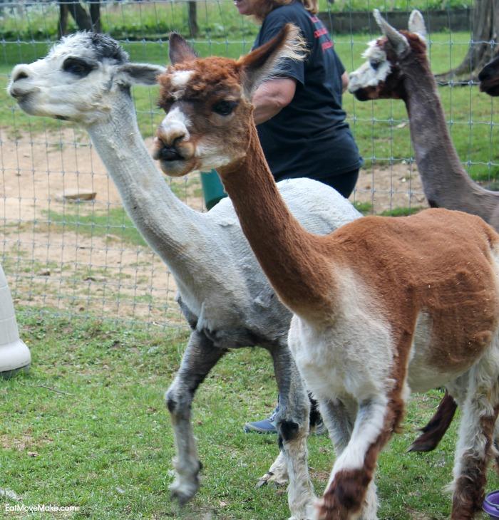 alpacas-at-apple-hill-farm-banner-elk-nc