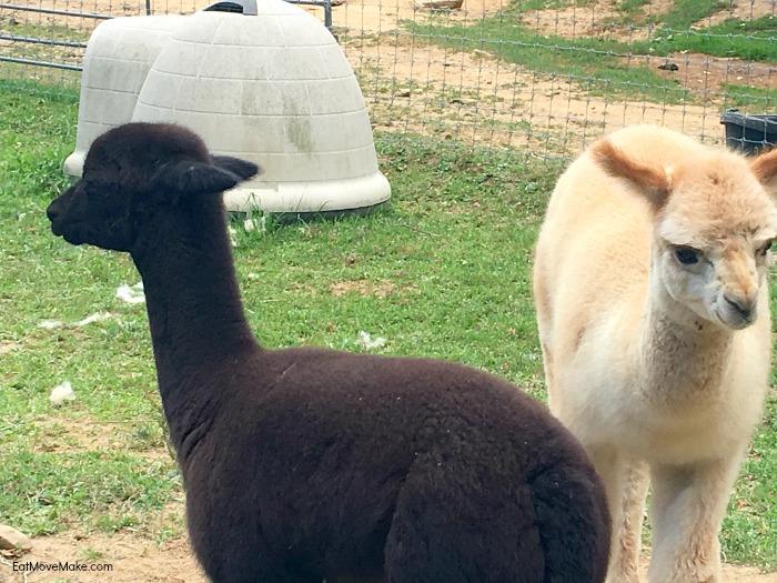 baby-alpacas-apple-hill-farm-banner-elk-nc