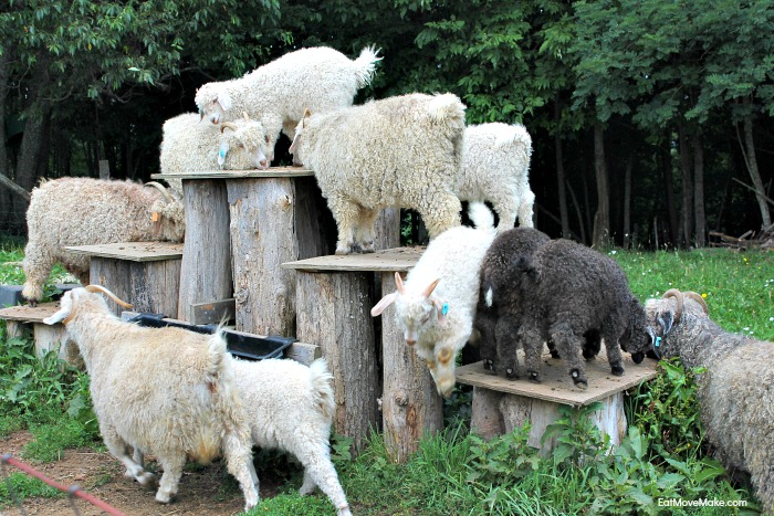 goats-at-apple-hill-alpaca-farm-banner-elk-nc