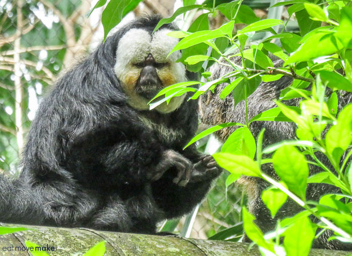 Saki monkey - Moody Gardens