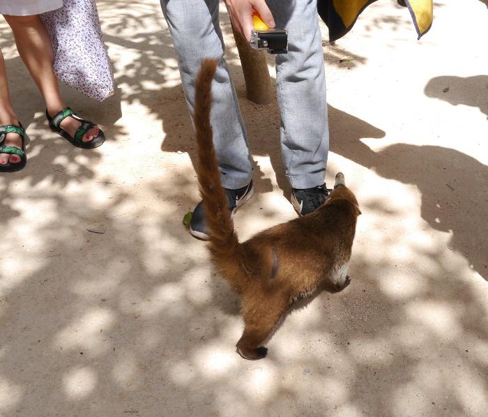 Coati at Tulum
