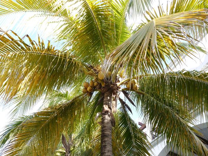 Cozumel coconut tree