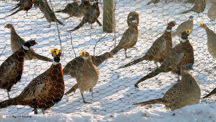 pheasants at MacFarlane Pheasant farm