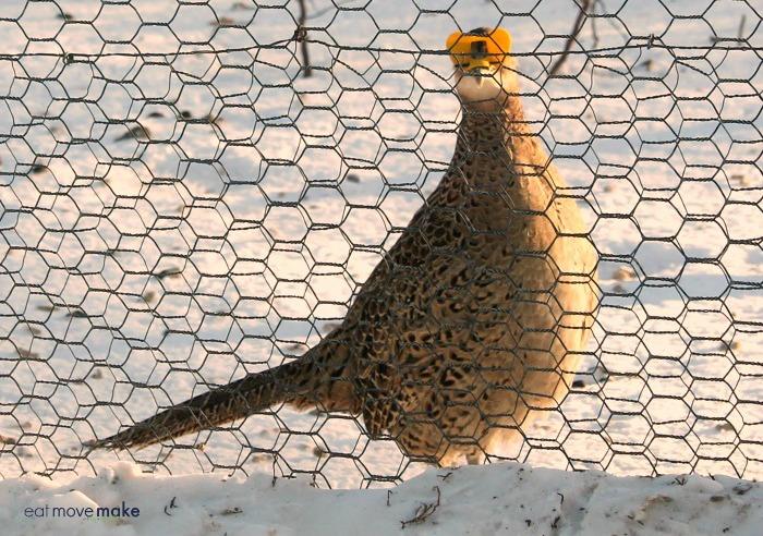 pheasant wearing peepers at MacFarlane pheasant farm