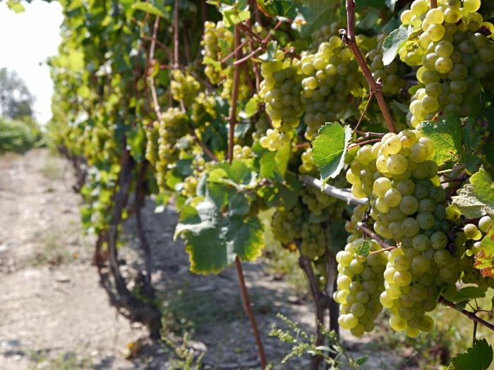 Dr Konstantin Frank winery vineyard