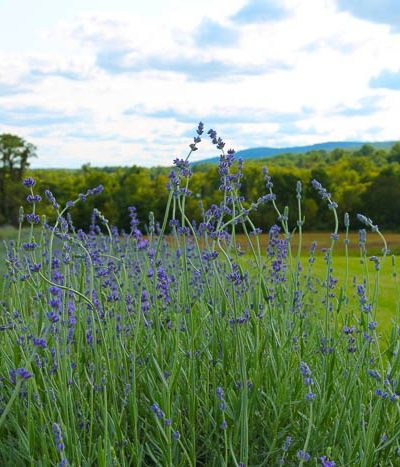 A close up of lavender in field