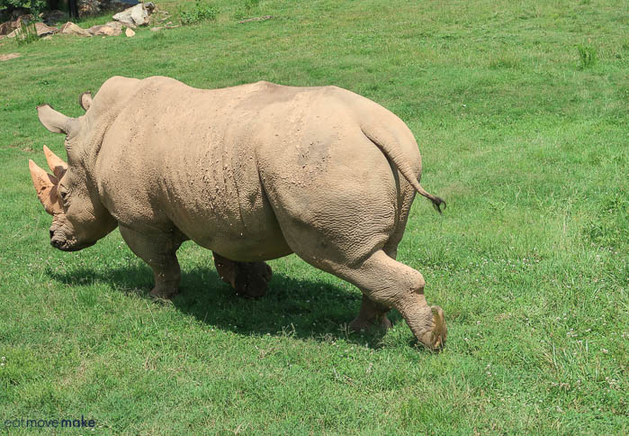 A rhinoceros walking in an open field