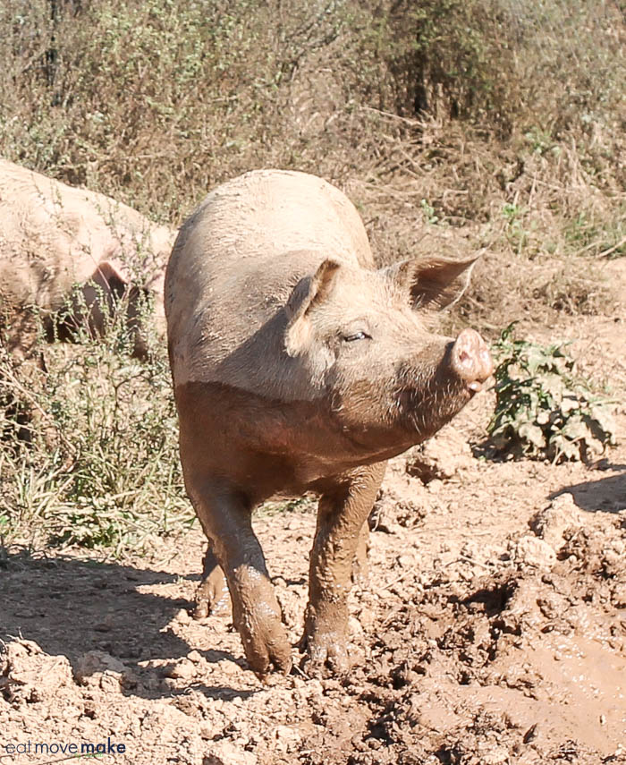 A pig standing on top of a dirt field